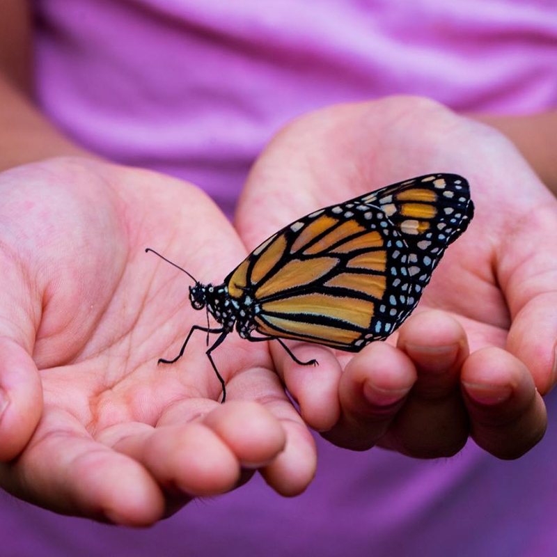 Child's hands holding butterfly.